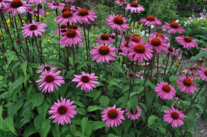 purple-coneflowers